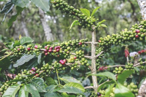 Red and green cherries arabica coffee