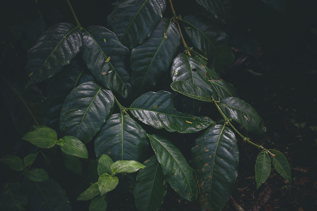 Pictures of coffee leaves