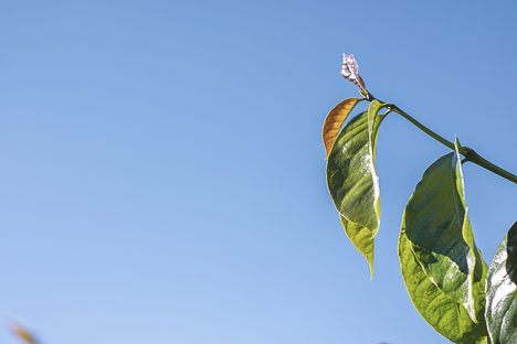 Arabica coffee leaves with blue sky background