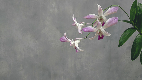 Purple orchid free stock photo