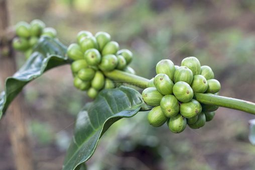 Robusta Coffee Fruit