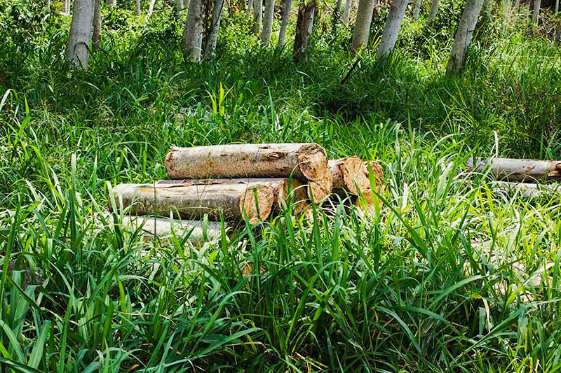 Falcata tree log wood