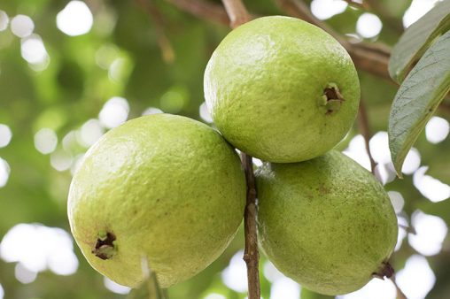 Close Up Guavas Fruit on Tree