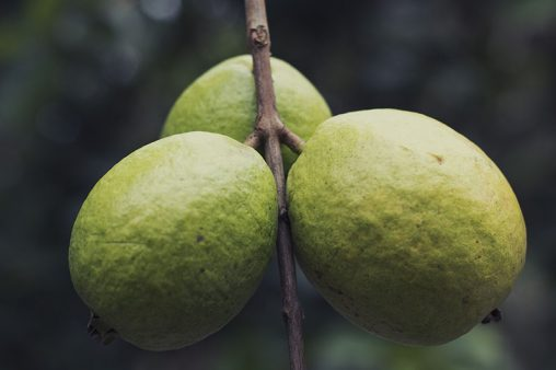 Vintage Guavas Fruits