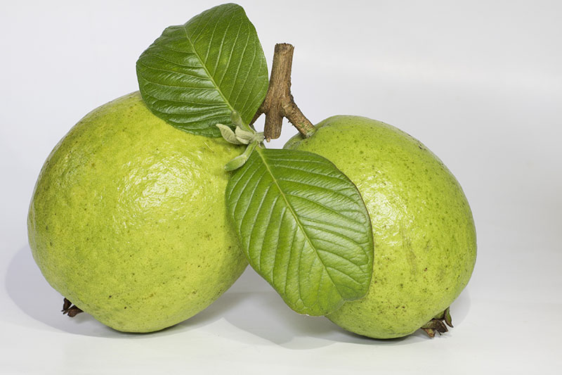 Two Close Up Guavas with Leaf