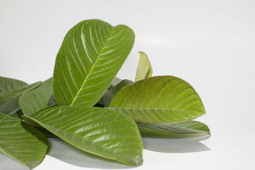 Close Up Guava Leafs