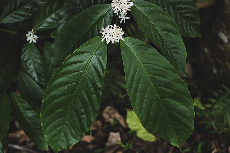 Robusta Coffee Leaf and Flowers