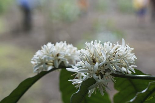 Robusta Coffee Flower