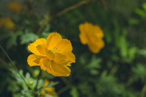 Beautiful yellow Cosmos sulphureus flower