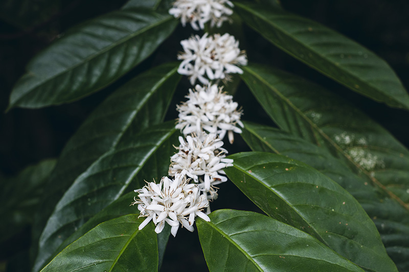 Robusta Coffee Flowers and Leaves