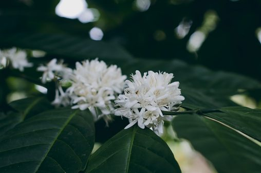 Robusta coffee flowers and leaves free images