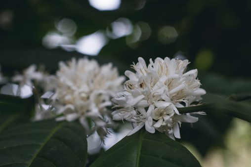 Close up Robusta Coffee Flowers and Leaves