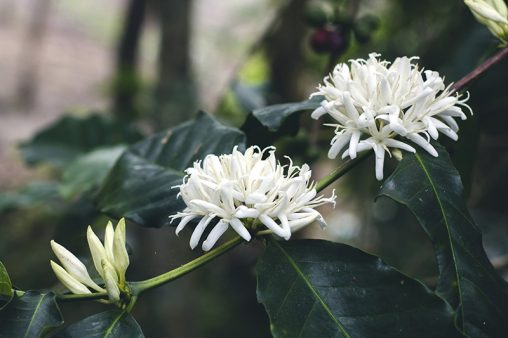 Close up Arabica Coffee Flowers and Leaves