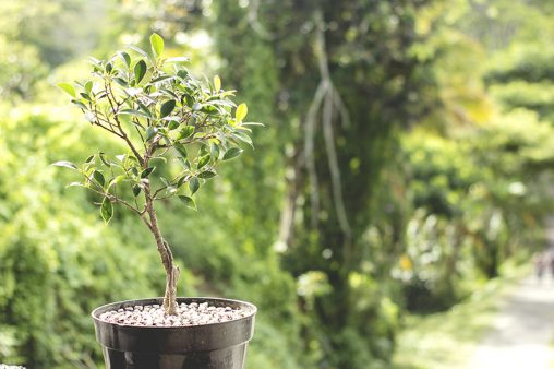 Growing a banyan tree as bonsai in a vase