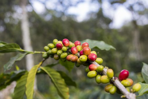 Coffee branches filled with red green cherries