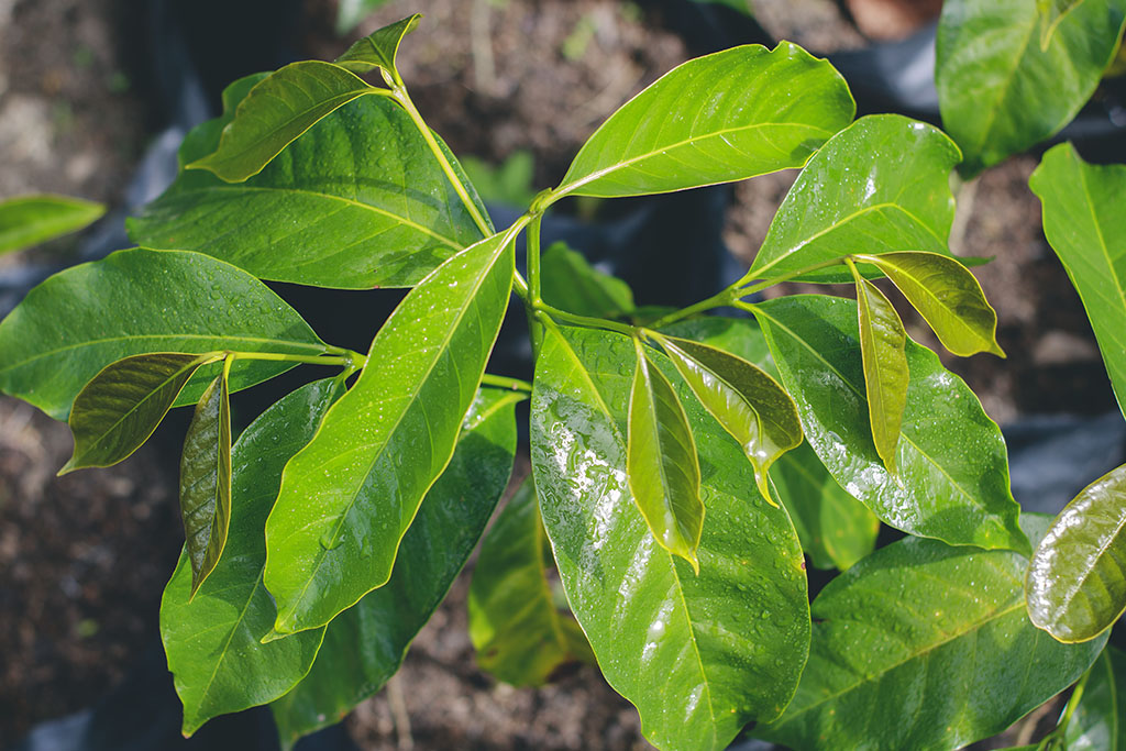 Close up coffee tree nursery
