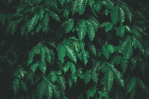 Green arabica coffee leaves