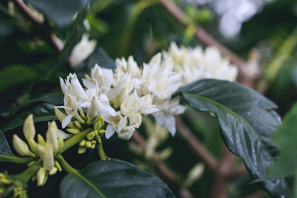 White blooms of arabica coffee