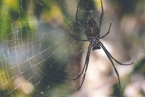 Picture of golden orb weaver spider