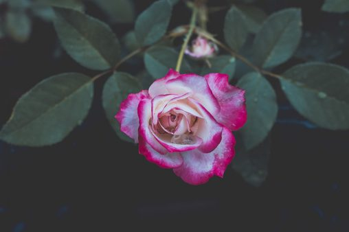 Pink white rose flowers images free download