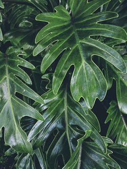 Monstera seamless leaves on dark background