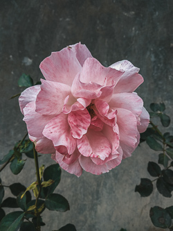 Soft pink rose flower
