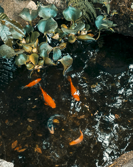 Mini fish pond koi with water hyacinth plant