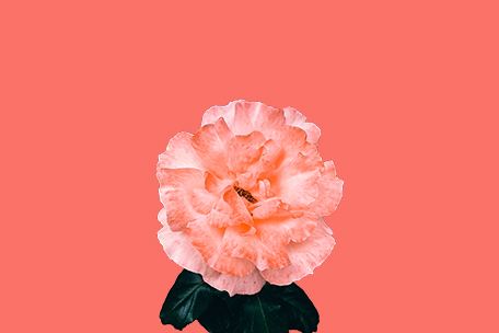 Rose flower living coral background