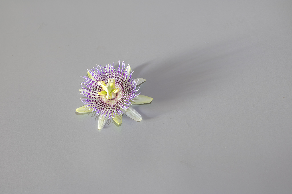 Passiflora flower isolated on gray background