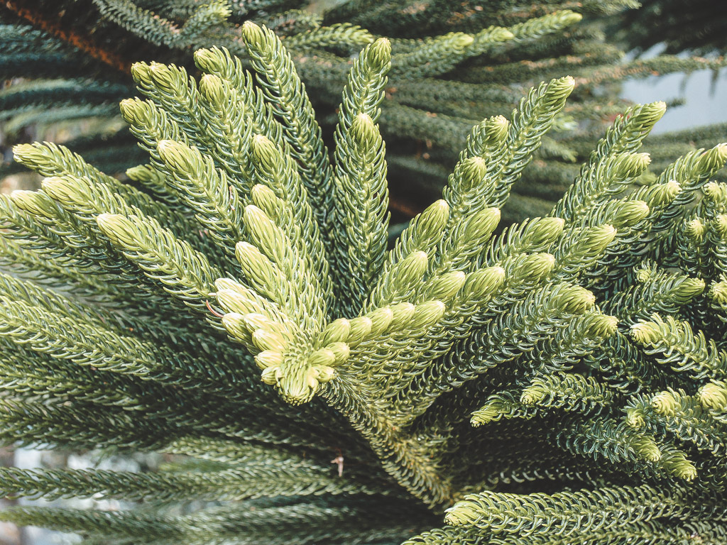 Leaves of norfolk island pine tree