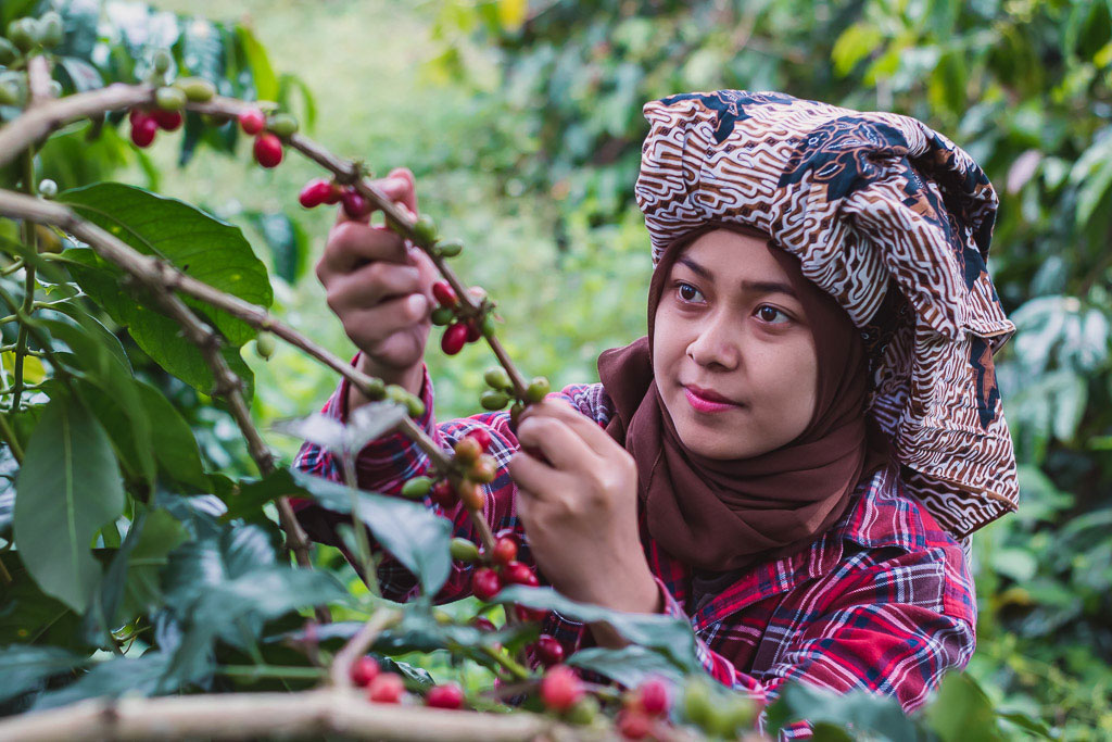 Girl picking ripe arabica coffee cherries